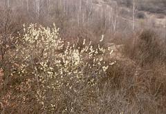 Salix caprea - Wierzba iwa
