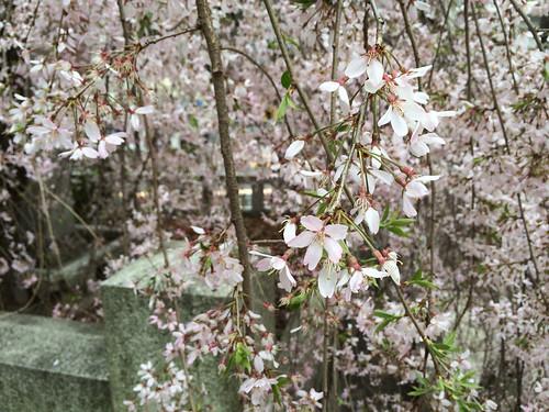 乃木神社の桜 2015