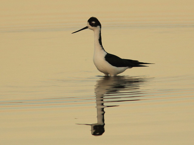 Black-necked Stilt at dawn 20150315