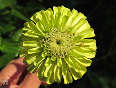 Benary's Giant Lime zinnia