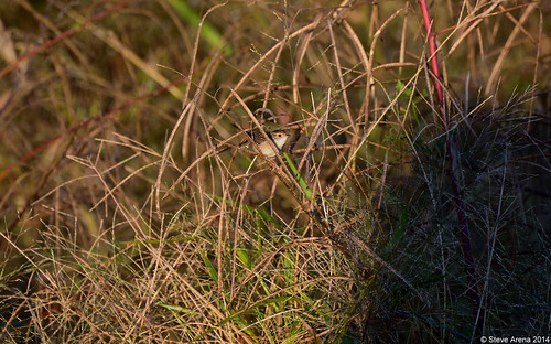 bird birds nikon louisiana d750 wren welsh songbird 2014 sedgewren cistothorusplatensis sewr jeffersondavisparish