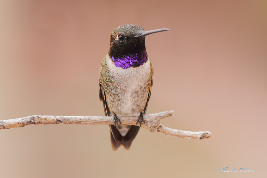 Black-chinned Hummingbird 0704151