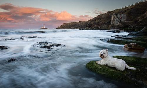 sunset dog pet seascape landscape westie northumberland westhighlandwhiteterrier baxter whitleybay northeastengland dogscape