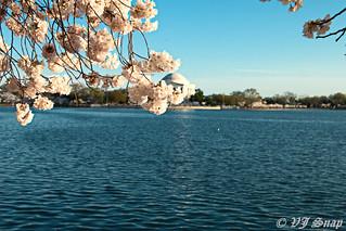 Cherry Blossom @DC