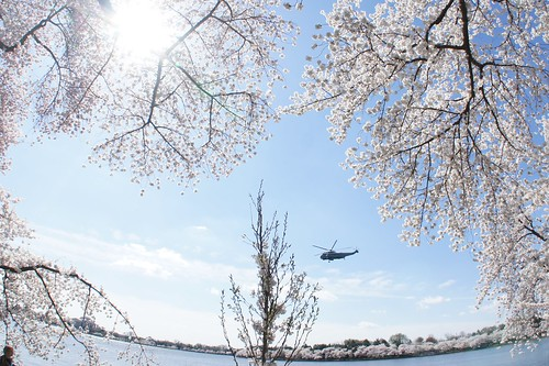 Cherry Blossoms and Marine One