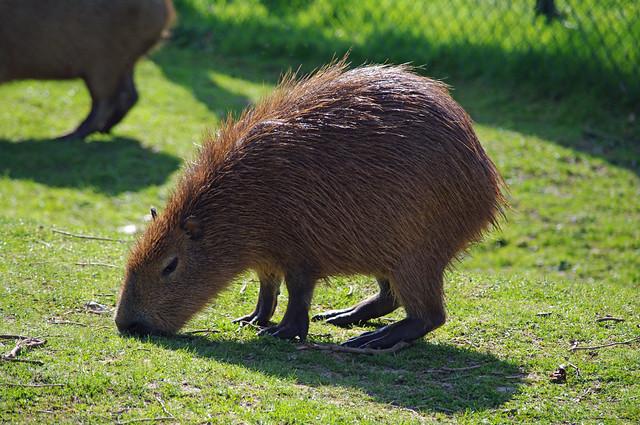 37445-Chester Zoo-2015-Capybara