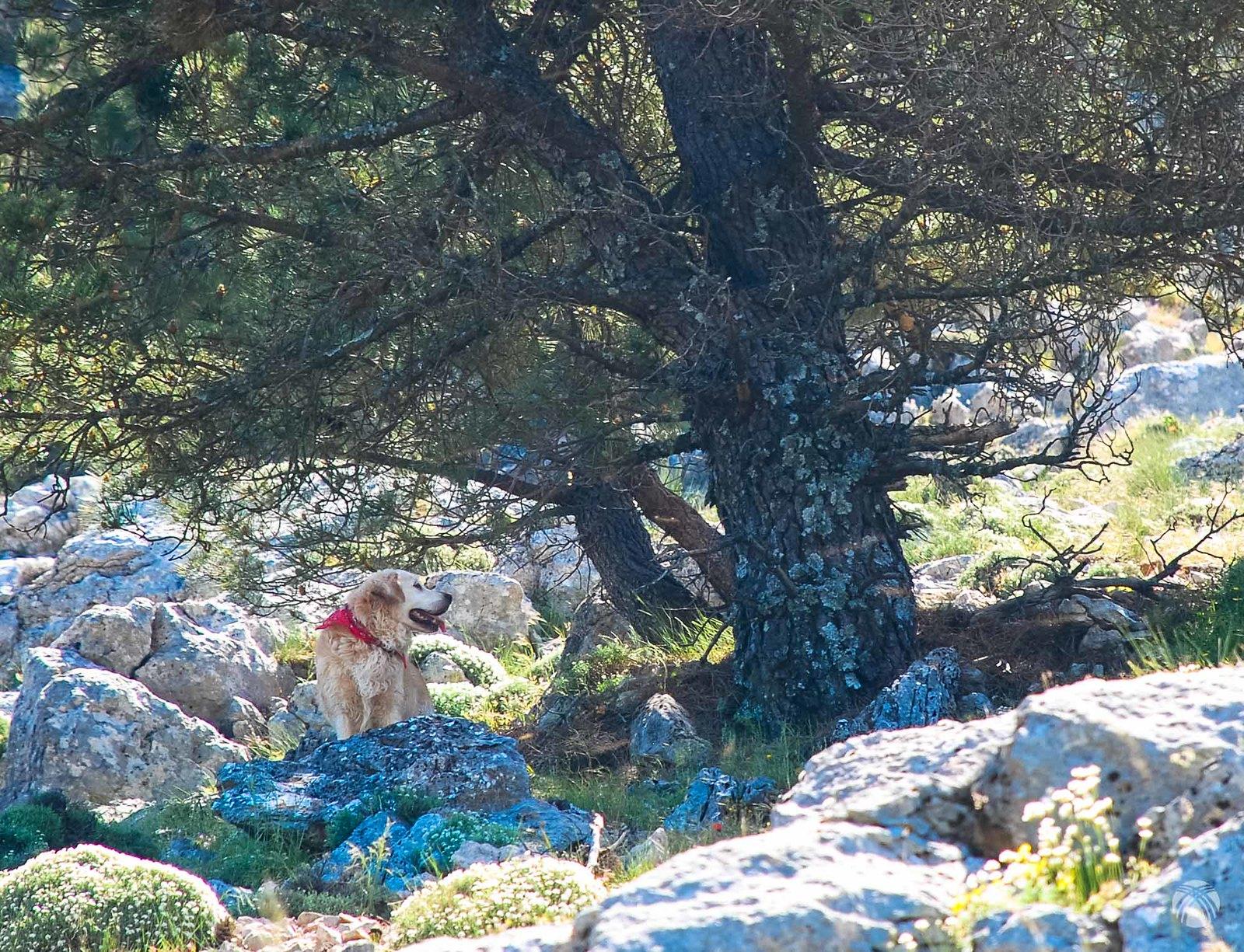Moss descansa bajo un pino