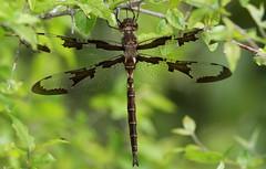 Prince Baskettail (male)- Aripeka Sandhills Preserve
