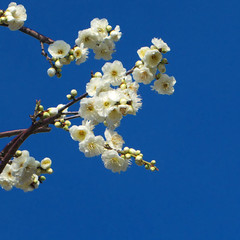 Ume blossoms with blue sky. 梅と青空