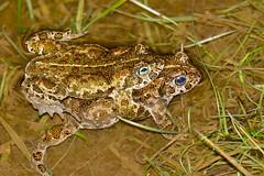 Natterjack Toads (Epidalea calamita) mating