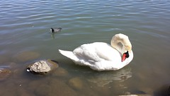 Mute Swan and American Coot