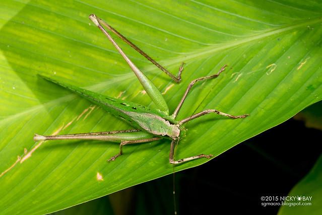 Katydid (Tettigoniidae) - DSC_3124