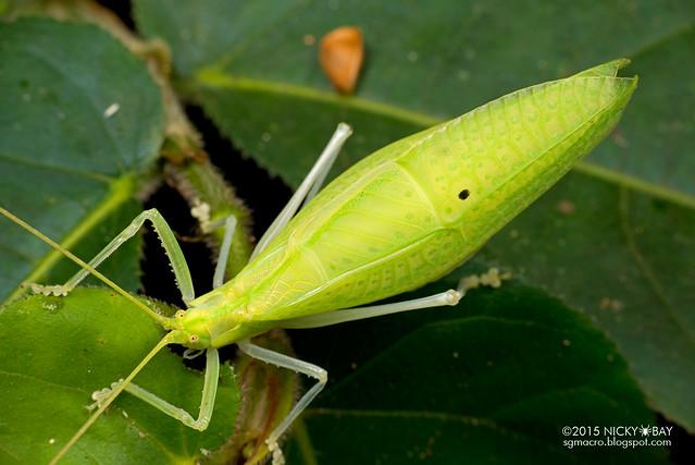 Katydid (Tettigoniidae) - DSC_3571