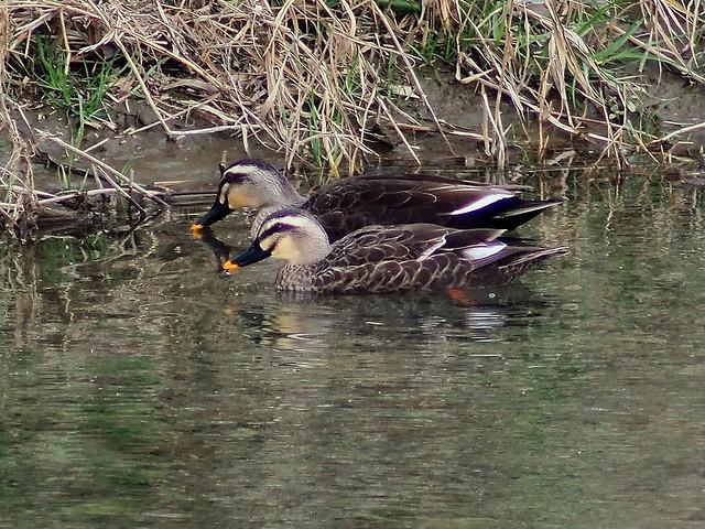 Eastern spot-billed ducks (Anas poecilorhyncha zonorhyncha, カルガモ )
