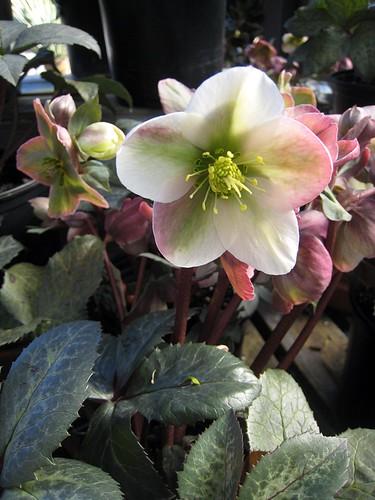Helleborus x ericsmithii 'Winter Moonbeam'