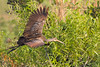 The flight of the Limpkin