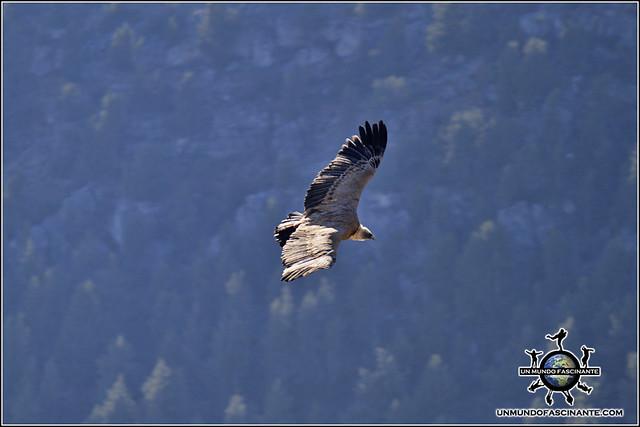 Buitre desde el Mirador de La Galiana, P.N. Cañón del río Lobos (Soria, España)