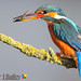 Common Kingfisher Alcedo atthis, perched on his branch just after sunrise. by Peter J Bailey (1 Million + Views)