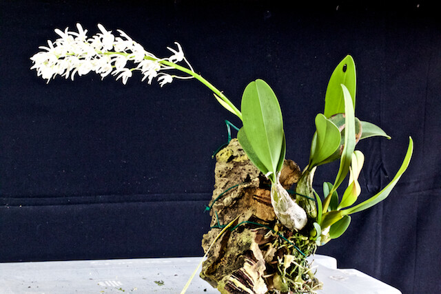 Dendrobium ruppianum 16812088135_1cf1ed3507_z
