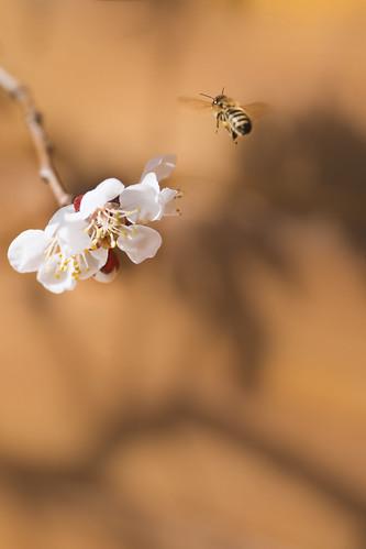 Aprikosenblüte / apricot blossom