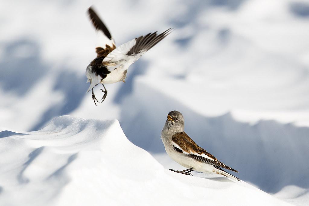 Niverolle alpine / Snow Finch