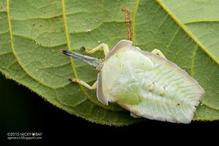 Giant shield bug (Tessaratomidae) - DSC_3749