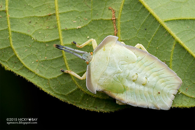 Giant shield bug (Tessaratomidae) - DSC_3749
