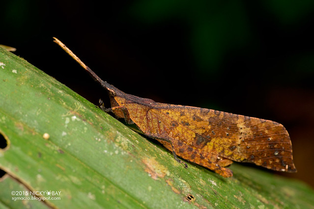 Dead leaf grasshopper (Trigonopterygidae) - DSC_3666