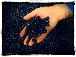 Pinot noir aux Hospices de Beaune