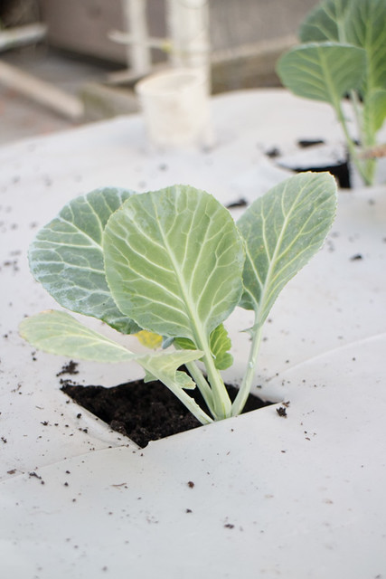 First Planting of the Year 2015 Broccoli_13
