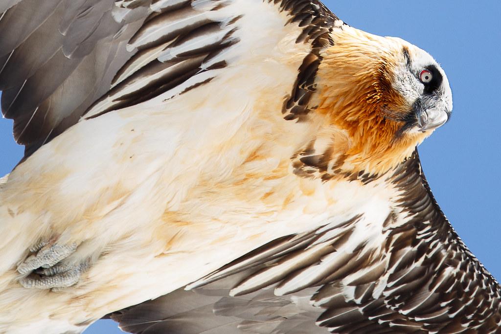 Gypaète barbu / Bearded Vulture
