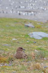 Brown Skua (Stercorarius antarcticus)