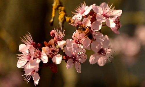 Cherry blossoms and bees announcing spring is here :)