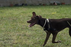 australian kelpie(0.0), belgian shepherd malinois(0.0), formosan mountain dog(0.0), dog breed(1.0), animal(1.0), dog(1.0), pet(1.0), patterdale terrier(1.0), carnivoran(1.0),