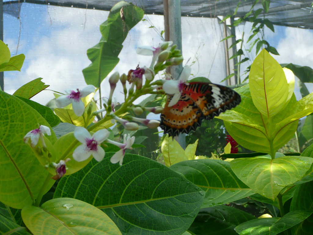 Butterflies inside the St. Maarten Butterfly Farm