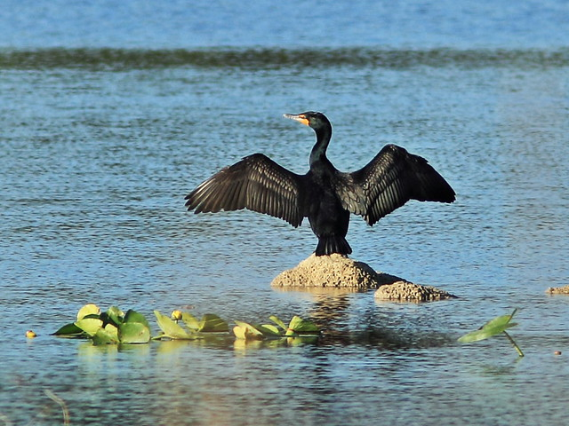 Double-crested Cormorant 20150413