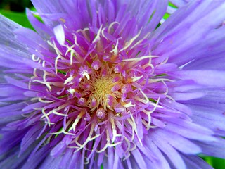 Center of Purple Flower