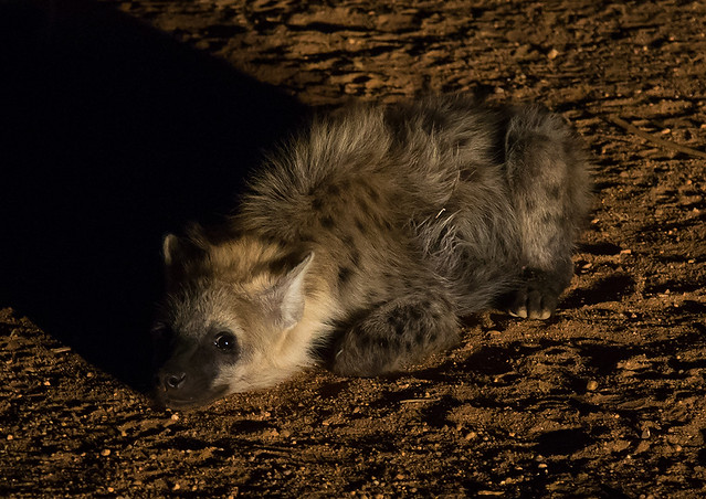 Hyena in the night laying on the ground after eating, Harari region, Harar, Ethiopia