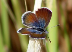 Little flutterer