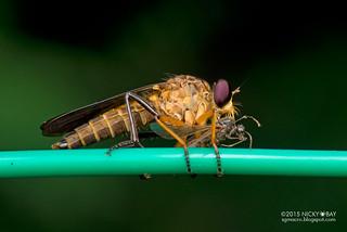 Robberfly (Asilidae) - DSC_3905