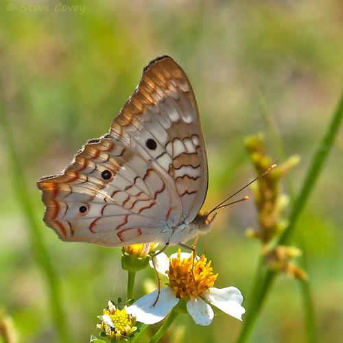 usa macro butterfly insect florida lepidoptera naples whitepeacock nymphalidae nymphalinae naplesbotanicalgarden truebrushfoot anatriajatrophae