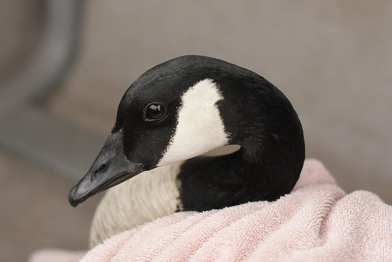 Bethany - our rescued canadian goose