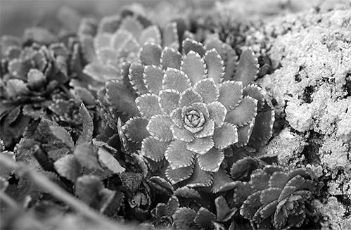 spring saxifrage