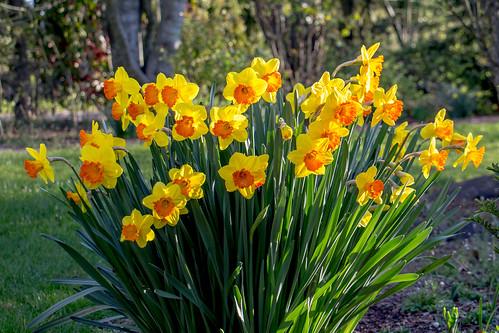 flowers winter oregon daffodils natue