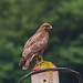 Águia de asa redonda, Eurasian Buzzard (Buteo buteo)  - em Liberdade [in Wild] by xanirish