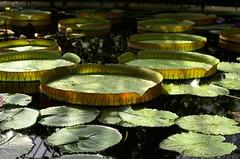Water Lily Leaves, inc Victoria cruziana