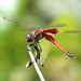 Small photo of Common Glider (Tramea loewii)