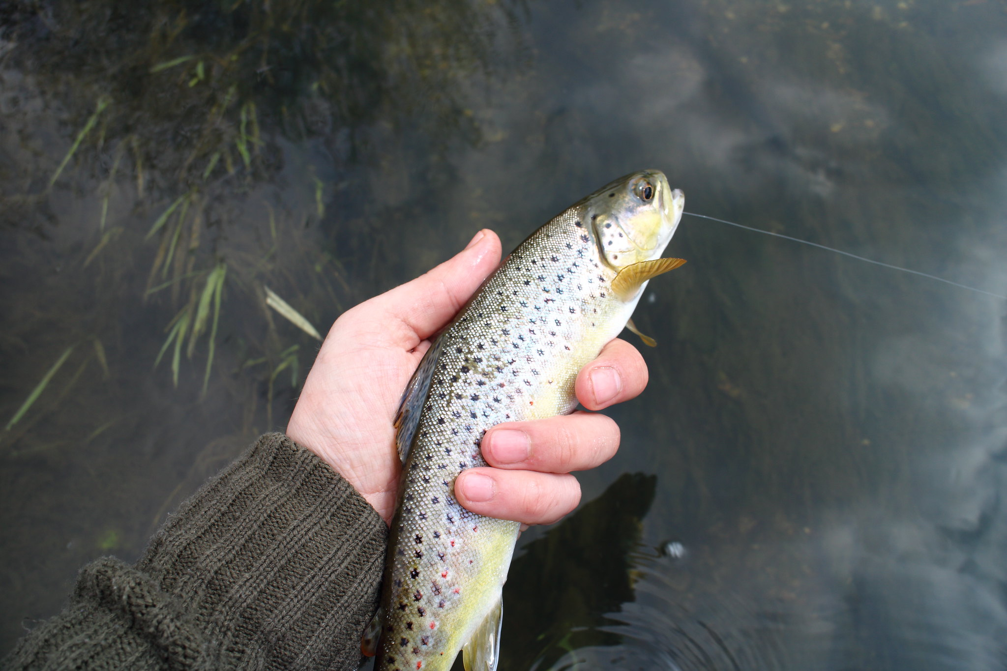"9"" Brown Trout"