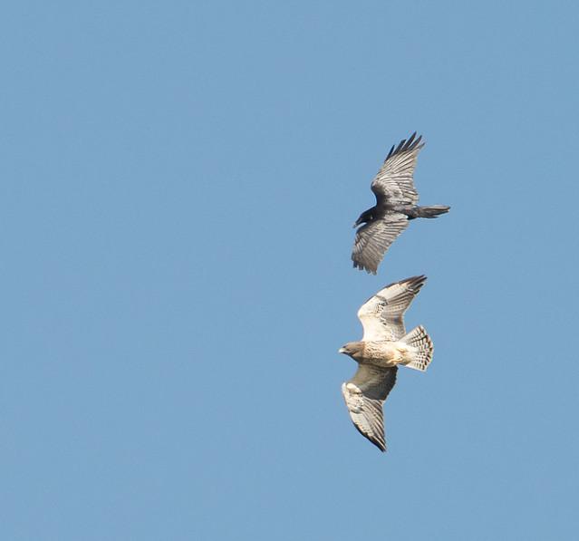 Swainsons Hawk vs Raven Aerial Combat 4