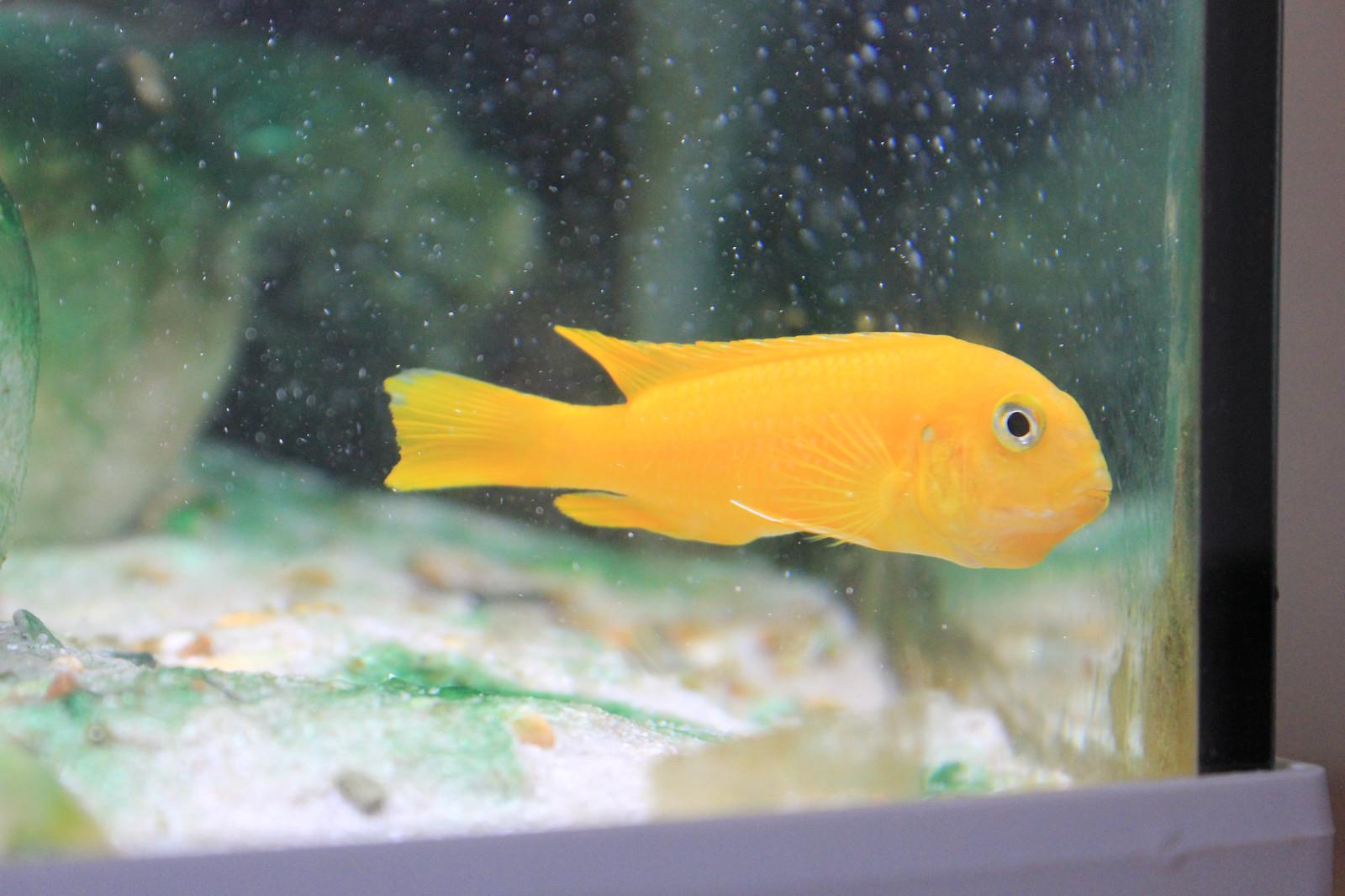 Freshwater aquarium fish not eating - Saulosi Spat Her Fry But Still Not Eating
